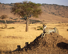 cheetah_african_savanna